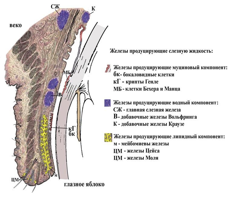 Железы и железистые структуры, участвующие в образовании  слезной жидкости