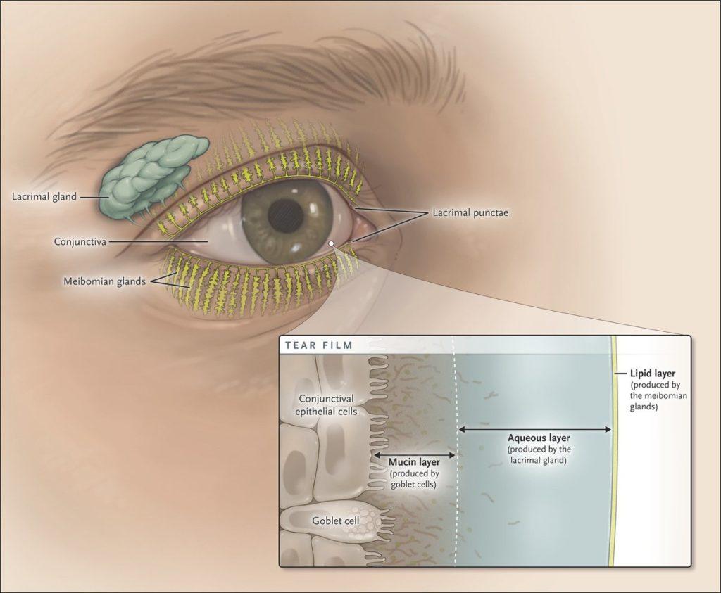 Слои слёзной плёнки глаза
