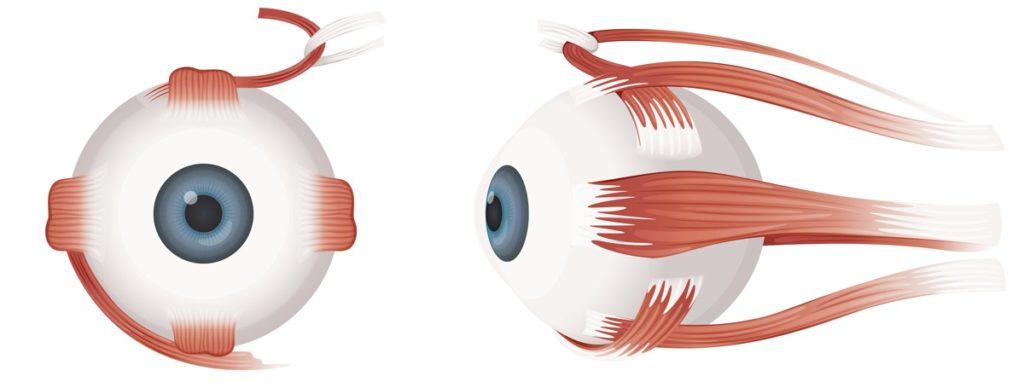 Мышцы глаз