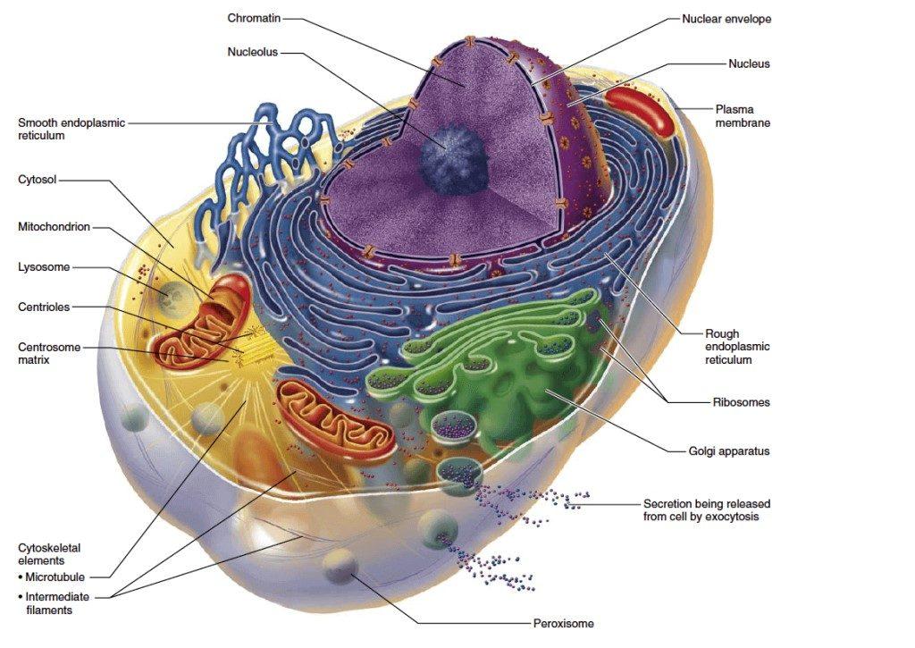 Клетка организма человека